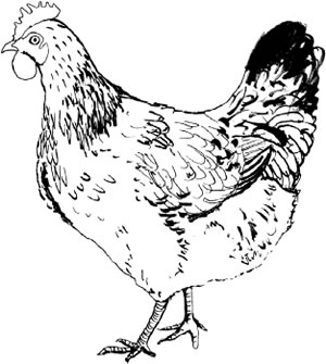 Cockerel Illustration